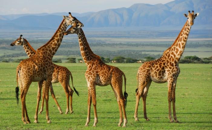 8 Days Nakuru, Masai Mara, Serengeti, Ngorongoro & Amboseli Safari